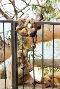 Baby Monkeys on Gibraltar