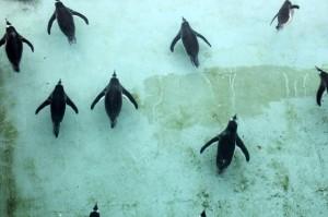 Penguins Swimming at Edinburgh Zoo