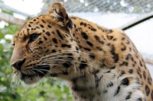 Big Cat at Edinburgh Zoo