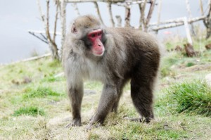 Japanese Macaque at Highland Wildlife Park