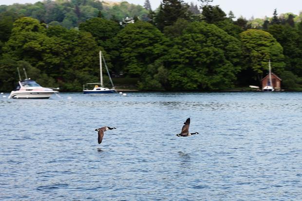 Geese on Windermere