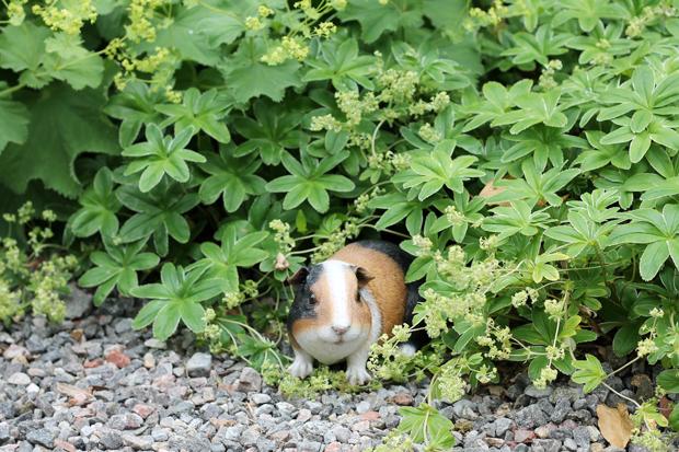 Aigas House Guinea Pig Statue