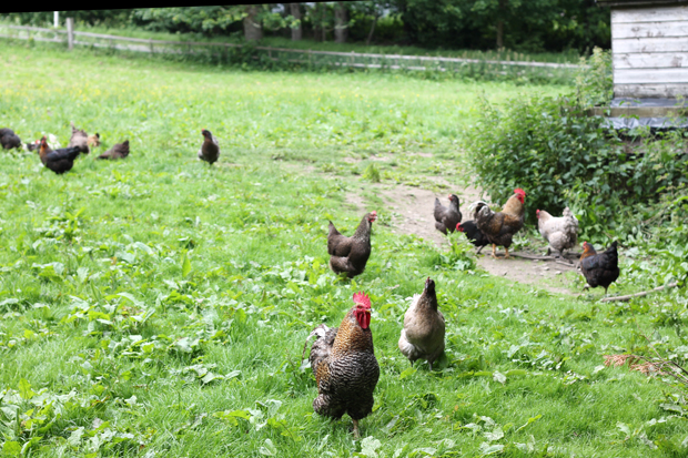 Aigas Chickens
