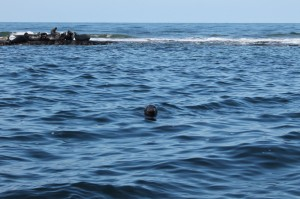 Grey Seals, The Farne Islands