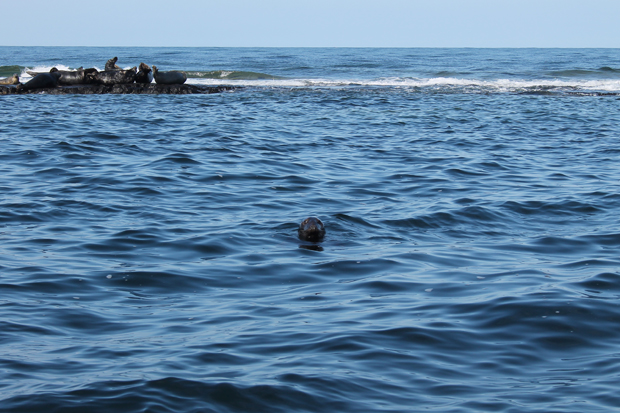 Farne Island Grey Seal Colony