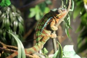Chameleon at Lakes Aquarium