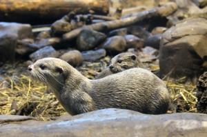 Otters at Lakes Aquarium