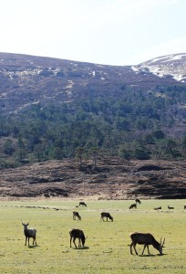 Red Deer, Glen Strathfarrar