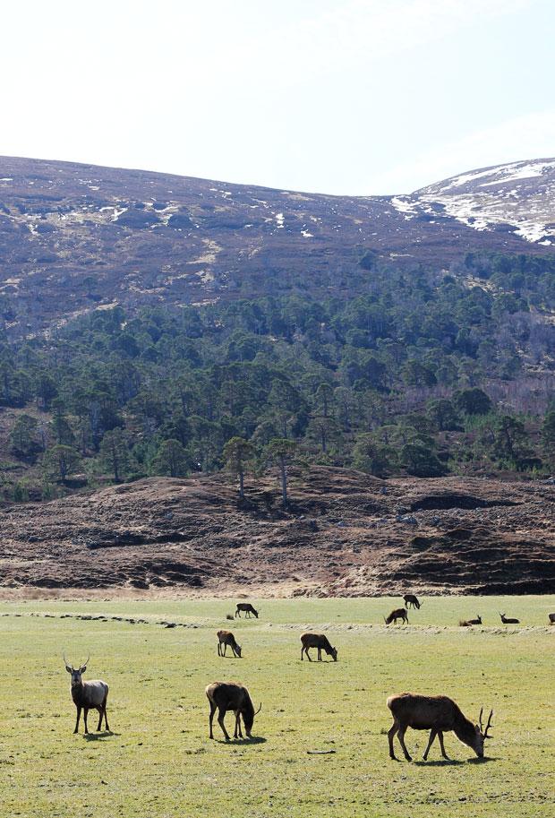 Red Deer, Glen Strathfarrar