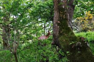 Roe Deer, Isle of Bute