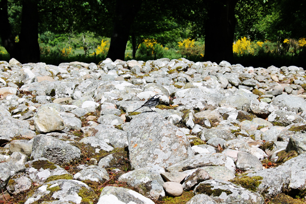 Wagtail at Clava Cairns