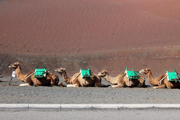 Camels, Timanfaya National Park, Lanzarote