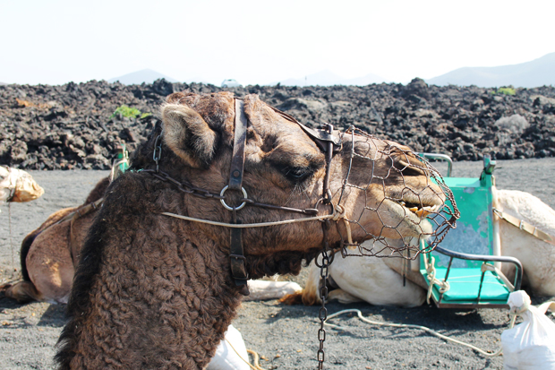 Camel, Timanfaya National Park, Lanzarote