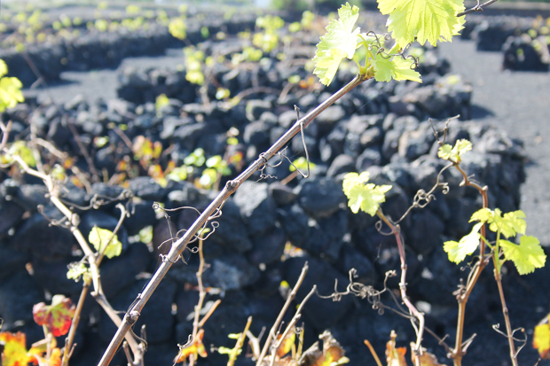 Traditional Vineyard, Lanzarote