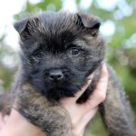 Meet Maisie, Our 9 Week Old Cairn Terrier Puppy
