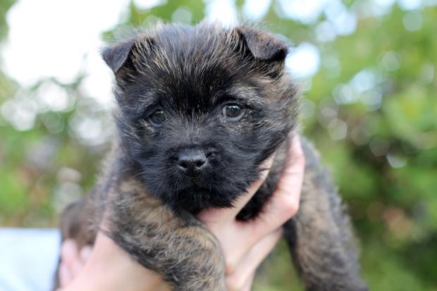 Maisie, 9 Week Old Cairn Terrier Puppy