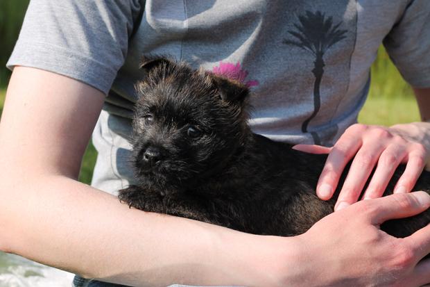 Maisie, 9 Week Old Cairn Terrier Puppy 3