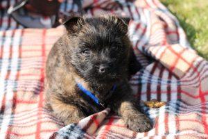 Maisie, 9 Week Old Cairn Terrier Puppy 4