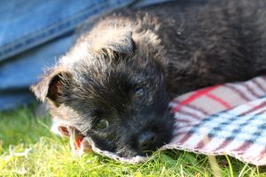 Maisie, 9 Week Old Cairn Terrier Puppy 5