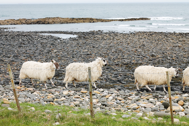 Sheep at Dunstanburgh Castle
