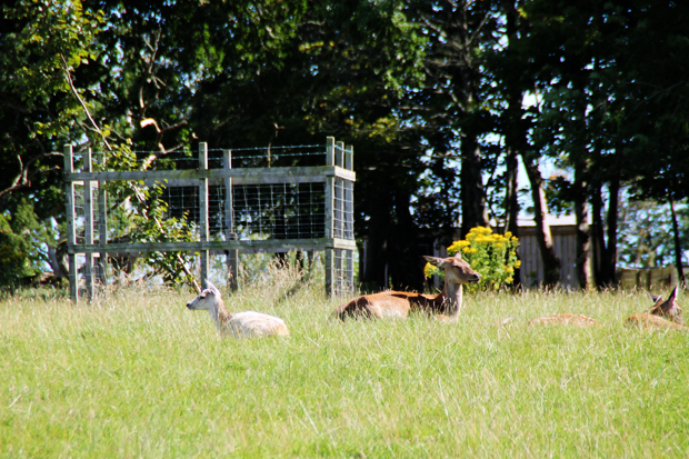 Deer 2, Culzean Country Park, Ayrshire, Scotland