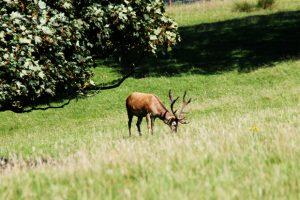 Stag, Culzean Country Park, Ayrshire, Scotland