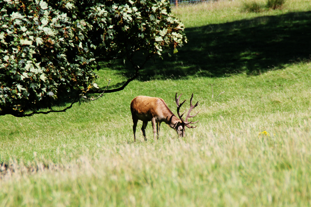 Stag, Culzean Country Park, Ayrshire, Scotland