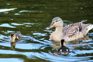 Ducklings on the Duck Pond, Culzean Country Park, Ayrshire, Scotland